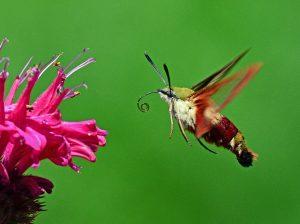 """Hummingbird Hawk-moth"" by kaibara87 is licensed under CC BY 2.0"