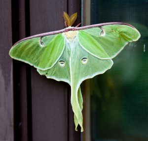 """""""Luna Moth"""" by pdbreen is licensed under CC BY 2.0"""