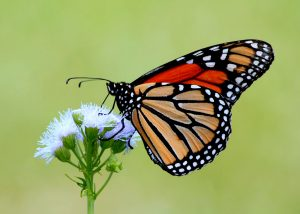 """""""Monarch On Mistflower"""" by TexasEagle is licensed under CC BY-NC 2.0"""